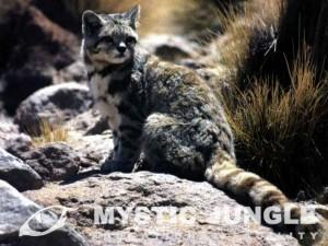 Andean_Cat