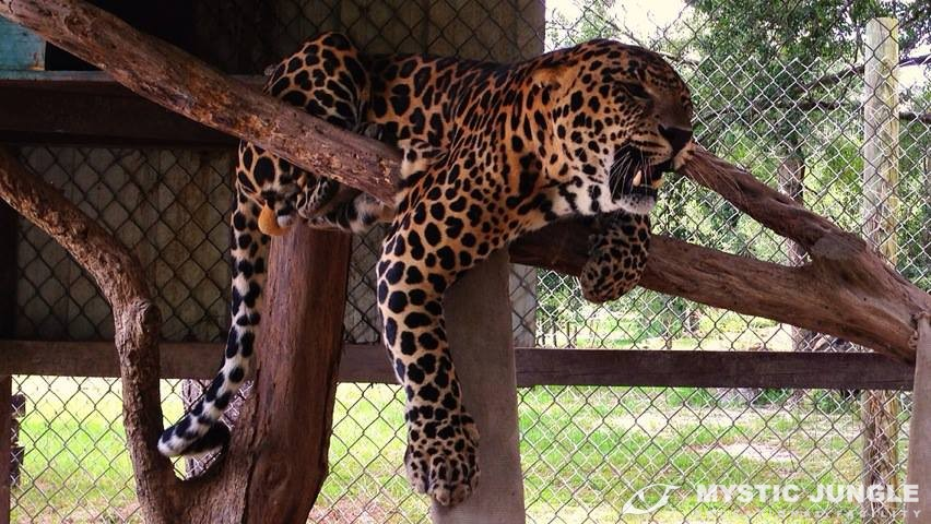 Why Are Big Cats Going Extinct