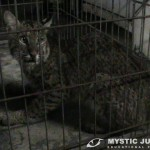 Bobcat captured